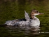 Common Merganser 01