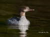 Common Merganser 02