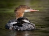 Common Merganser 03