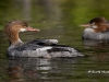 Common Merganser 04