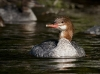 Common Merganser 05