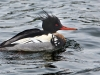 Red Breasted Merganser 02
