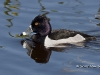 Ring Necked Duck 01