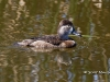 Ring Necked Duck 02