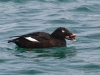 White-winged Scoter 01