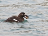 White-winged Scoter 02