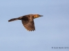Boat-tailed Grackle 02