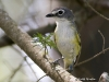 blue-headed-vireo-01