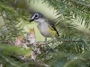 blue-headed-vireo-03