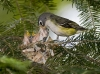blue-headed-vireo-05