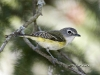 blue-headed-vireo-02