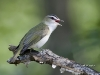 red-eyed-vireo-torrance