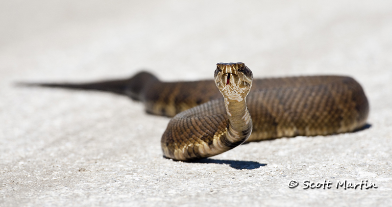 Water Moccasin-02