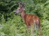 White-tail-deer-03