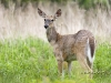 White-tail-deer-04