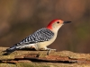 Red-bellied 10