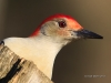 Red-bellied 11