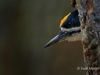 Black-backed Woodpecker 01