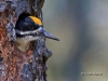 Black-backed Woodpecker 02