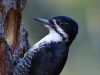 Black-backed Woodpecker 03