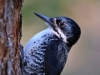 Black-backed Woodpecker 05
