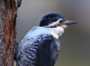 Black-backed Woodpecker 07