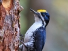 Black-backed Woodpecker 08