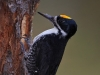Black-backed Woodpecker 09
