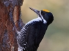 Black-backed Woodpecker 10