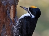 Black-backed Woodpecker 11