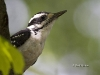 Hairy Woodpecker 01