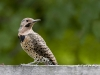 Northern Flicker 02