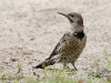 Northern Flicker 03