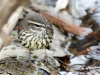 northern-waterthrush-01