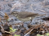 northern-waterthrush-02