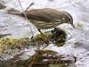 northern-waterthrush-03