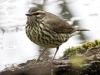 northern-waterthrush-04