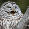 Barred Owl and an iPad