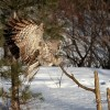 Great Gray Owls in Ottawa Ontario
