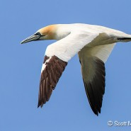 Northern Gannet; The Bird of Bonaventure Island