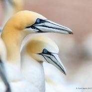 The Gannets of Bonaventure Island