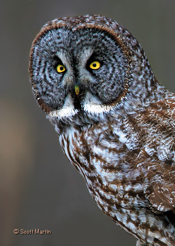 great gray owl facts - 500×703